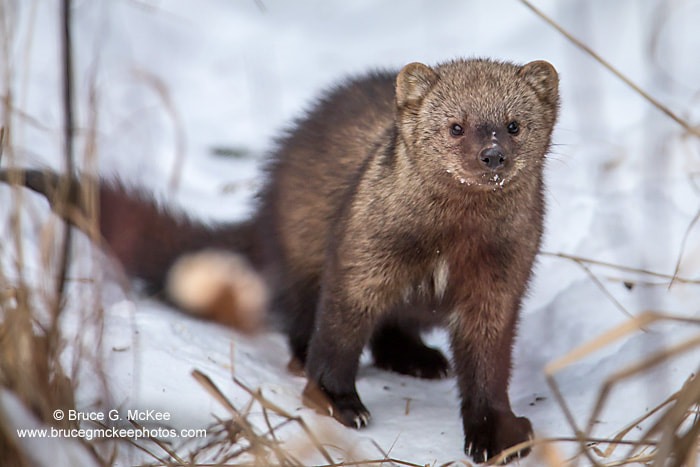 Photo of a Fisher - a brown mammal with a busshy tail