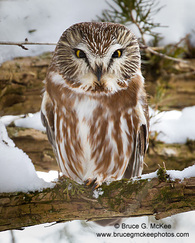 Photo of Norther Saw-whet Owl