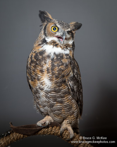 Great-horned Owl photo