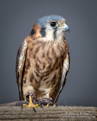 American Kestrel photo