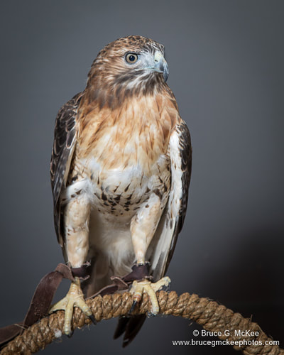 Red-tailed Hawk photo